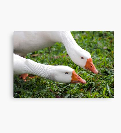 What's with that camera? - geese at Warrina Lakes Canvas Print