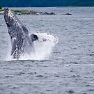Breaching Humpback by Tracy Riddell