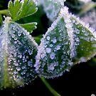 Icy Garden by Melissa Park
