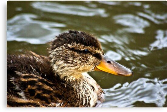 Duckling by Trevor Kersley