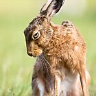 Summer Hare by Peter Denness