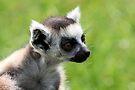 Baby Lemur by Jo Nijenhuis
