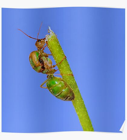 Study of Green Ant #3 Poster