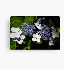 Blue Lace-Cap Hydrangea Canvas Print