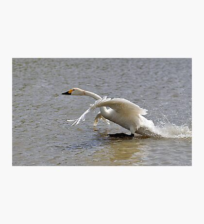 Bewick walks on water Photographic Print