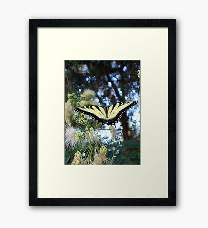 Mimosa Tiger 1 Framed Print