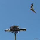 Osprey Flew the Cookoo's Nest by Debbie Robbins