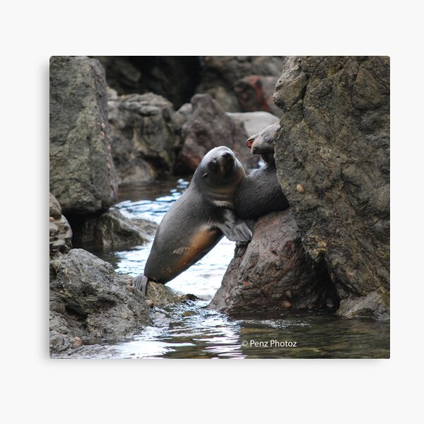 Seals playing Canvas Print