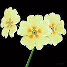 Beautiful polyanthus by George92