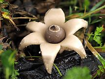 Earthstar Fungus - Morwell National Park, Australia by Bev Pascoe