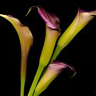 Calla Lily 1 by tinymystic