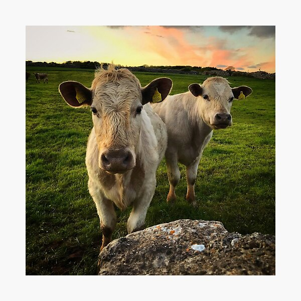 Sunset Cows Photographic Print