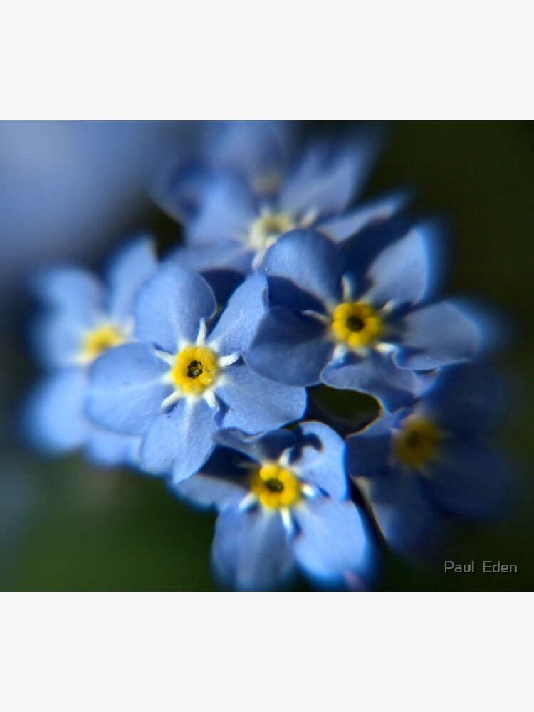 Forget-Me-Not by pauleden