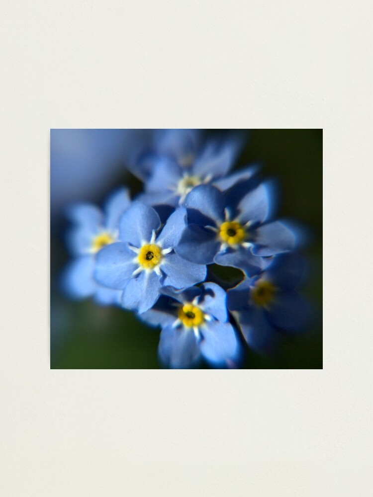 Alternate view of Forget-Me-Not Photographic Print