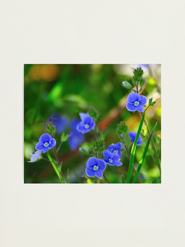 Alternate view of Speedwell Photographic Print