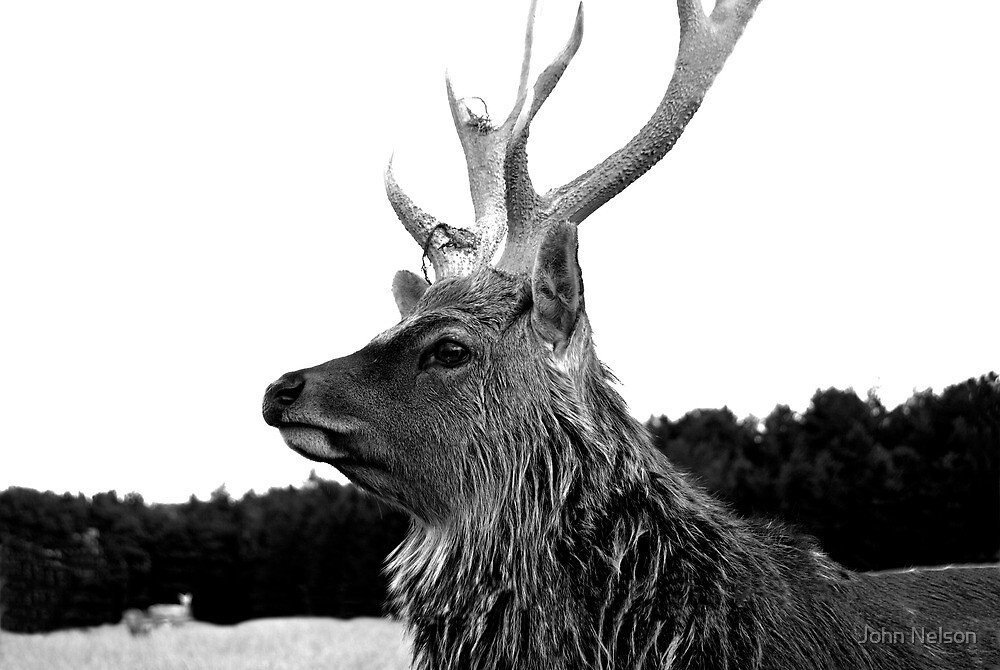 The Stag by John Nelson