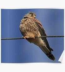 Holding The Line - Common Kestrel - None Captive Poster