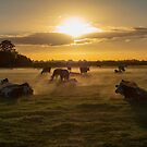 Cows in the fog by vannaweb