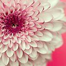 Pink & White Chrysanthemum by Wendy Kennedy