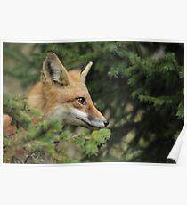 Backyard Fox Poster