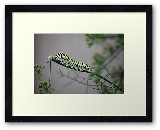Swallowtail Caterpillar in Kansas by Suz Garten
