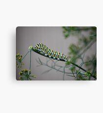 Swallowtail Caterpillar in Kansas Canvas Print