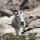Mt goat by jeff welton
