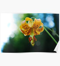 Columbia Lily - Wildflowers of British Columbia Poster