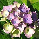 Sunkissed Hydrangea Blossom by BlueMoonRose
