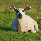 Sheep In Derbyshire by Elaine123