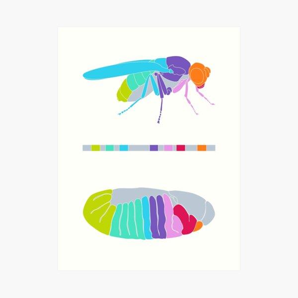 Drosophila Hox Genes  Art Print
