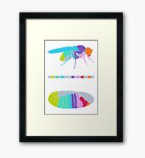 Drosophila Hox Genes  Framed Print