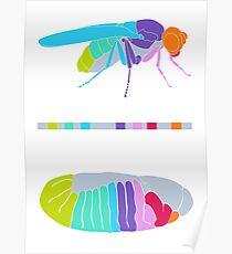 Drosophila Hox Genes  Poster