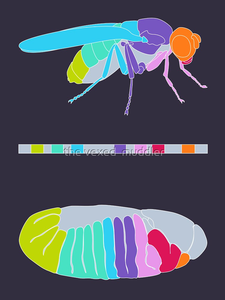 Drosophila Hox Genes  by thevexedmuddler