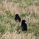 «cuervos» de Perggals© - Stacey Turner