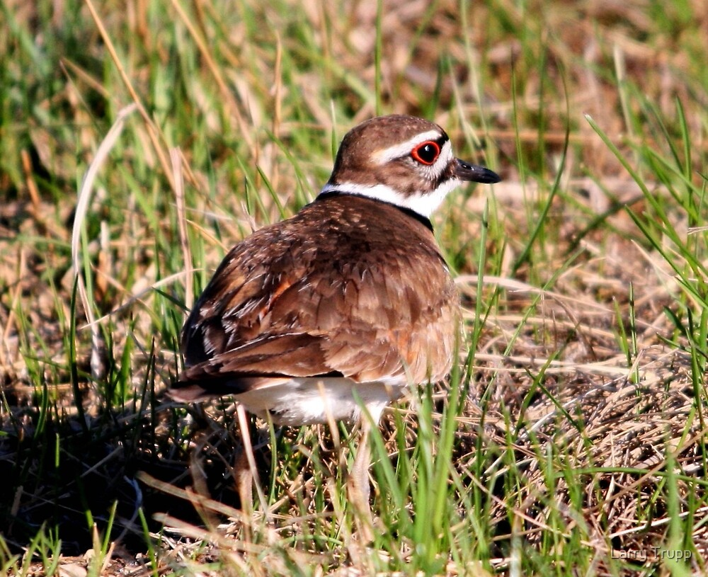 Killdeer (with call) by Larry Trupp