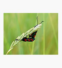 Burnet Moths Photographic Print