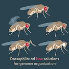 Drosophila Mutations: Ad Hox Solutions for Genome Organization by the vexed  muddler