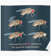 Drosophila Mutations: Ad Hox Solutions for Genome Organization Poster