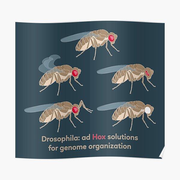 Drosophila Mutations: Ad Hox Solutions for Genome Organization Poster