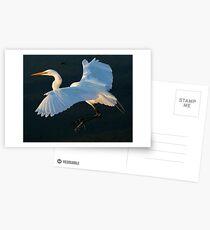 Great White Egret Postcards