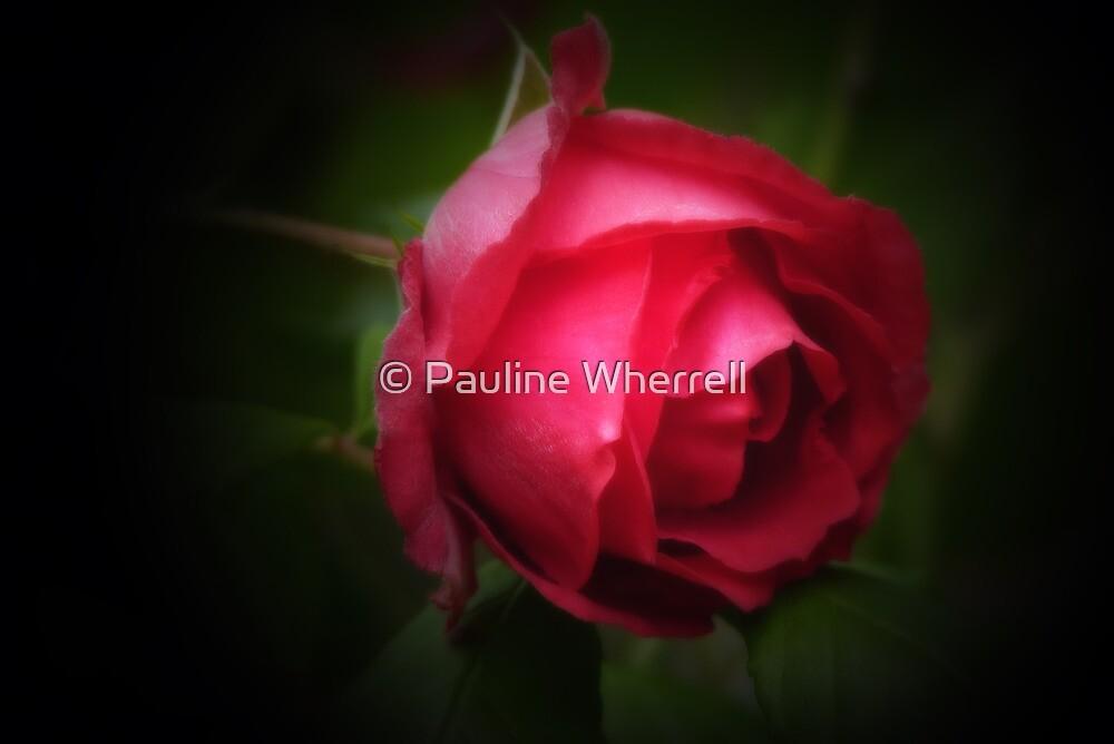 Single red rose by © Pauline Wherrell