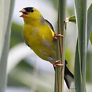 Songbirds by Dennis Cheeseman