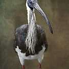 Threskiornis spinicollis  by Magee