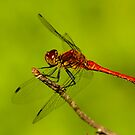 Male Ruddy Darter by Robert Abraham