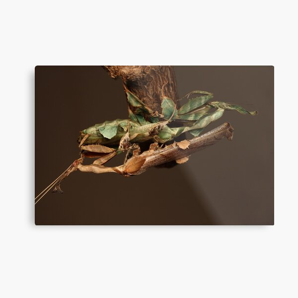 adult male and female trying to find the right way to mate.LOL Metal Print