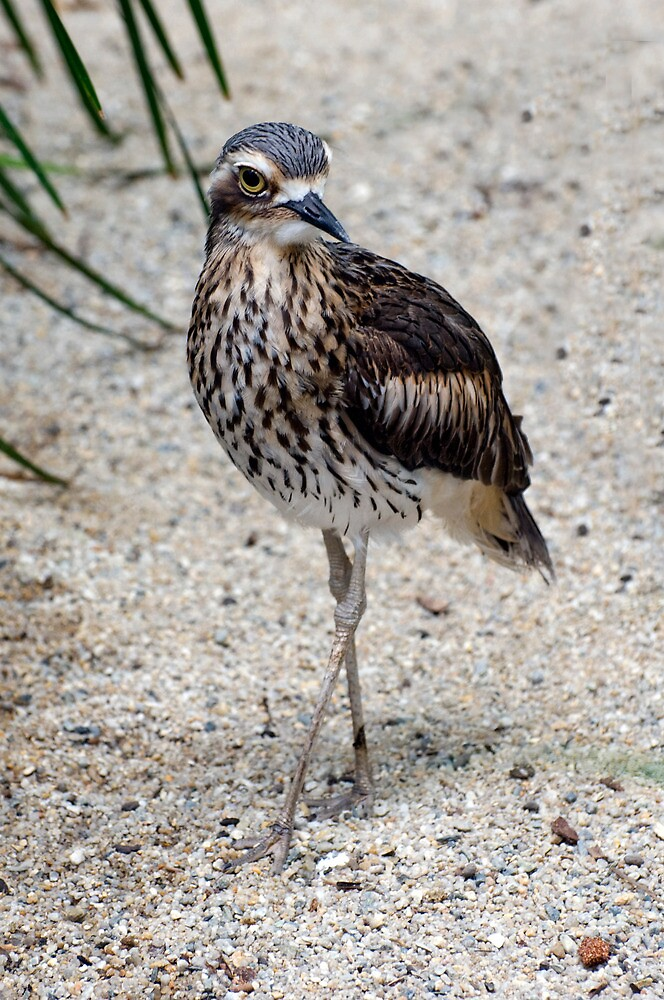 Cross your Legs -  curlew in Cairns by Jenny Dean