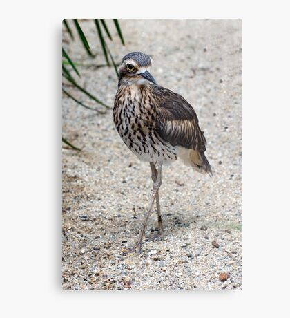 Cross your Legs -  curlew in Cairns Metal Print