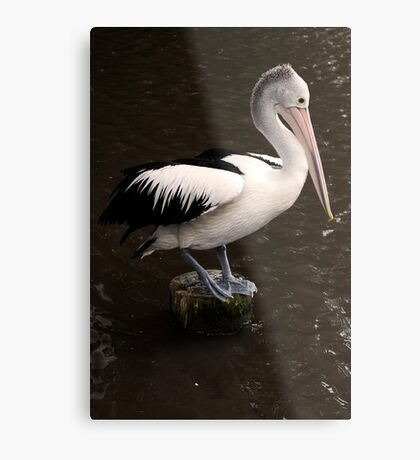 Balancing Act - pelican in Cairns Metal Print