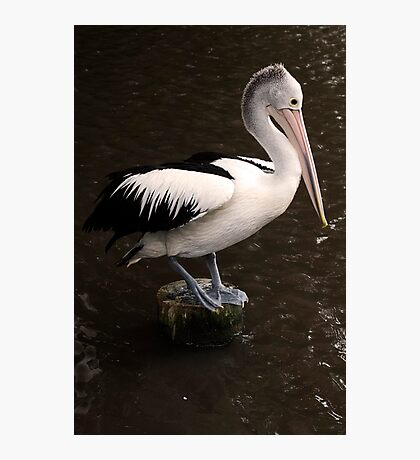 Balancing Act - pelican in Cairns Photographic Print